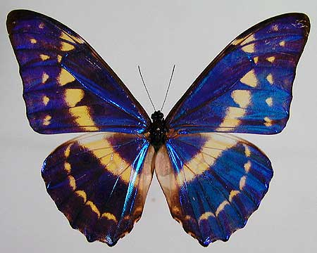 The Color of Morpho Butterfly Wings