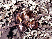 A pair of the Japanese giant flying squirrels, Petaurista leucogenys.